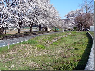 桜が満開の雨引駅